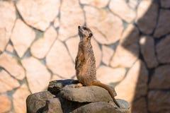 Любознательное meerkat сидя на утесе Стоковое Изображение RF