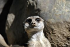 Любознательное meerkat смотря камеру Стоковое фото RF