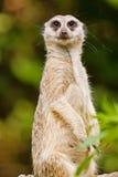 любознательное meerkat Стоковая Фотография