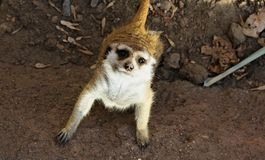Любознательное Meerkat Стоковое Изображение RF