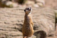 Любознательное meerkat Стоковая Фотография RF
