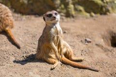 Любознательное meerkat Стоковое Изображение