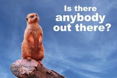 """Любознательное suricatta Suricata meerkat или suricate спрашивая """"Is там кто-нибудь там?  †Стоковое Изображение RF"""