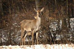 Любознательные женские красные олени Стоковые Фотографии RF