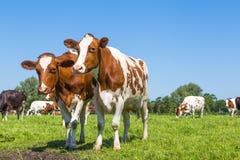 Любознательные коровы коричневого цвета в поле стоковые фото