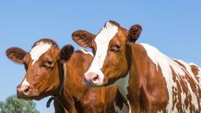 Любознательные коровы коричневого цвета в поле стоковые изображения rf