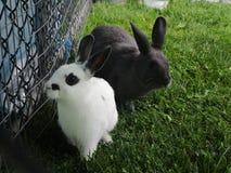 Любознательные кролики зайчика смотря дальше на petting зоопарке Стоковое Изображение RF