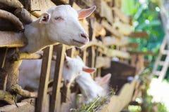 Любознательные отечественные белые козы вставляют их головы через бары конюшни Стоковые Изображения RF