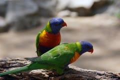Любознательные пары радуги Lorikeets Стоковые Фото