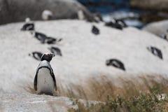 Любознательный африканский пингвин стоя на утесе перед колонией pe Стоковая Фотография RF