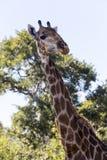 Любознательный взгляд жирафа сверху Стоковые Фотографии RF