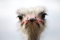 Любознательный взгляд конца-вверх головы страуса стоковая фотография