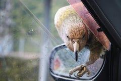 Любознательный высокогорный попугай, птица Kea родное животное острова Альпов ` Новой Зеландии южного сидя на зеркале автомобиля  стоковая фотография