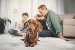 Любознательный коричневый щенок лежа на ковре около предпринимателей стоковая фотография
