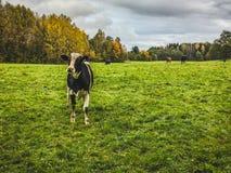 Любознательный молодой бык на зеленом поле на осени Стоковые Изображения RF