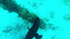 Любознательный морской окунь около анкера видеоматериал