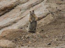 Любознательный Сибирский бурундук в национальном парке скалистой горы стоковое изображение rf