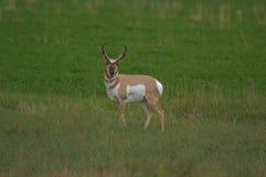 Любознательная антилопа Pronghorn Стоковая Фотография