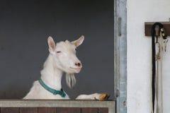 Любознательная белая коза стоя на задних ногах смотрит вне stabl Стоковые Фотографии RF