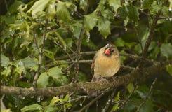 Любознательная женская кардинальная птица на ветви Стоковое фото RF