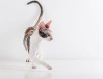 Любознательная корнуольская стойка кота Rex на белой таблице Белая предпосылка стены стоковые фотографии rf