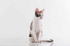 Любознательная корнуольская стойка кота Rex на белой таблице Белая предпосылка стены длинний кабель стоковые изображения