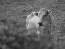 Любознательная корова стоковая фотография