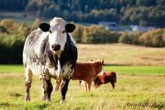 Любознательная корова Стоковое Изображение