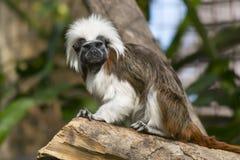 Любознательная обезьяна Стоковые Изображения