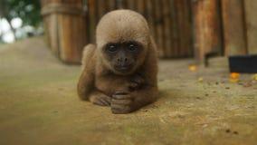 Любознательная обезьяна Chorongo младенца вытаращить на объективе фотоаппарата Стоковое Фото