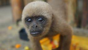Любознательная обезьяна Chorongo младенца причаливая объективу фотоаппарата Стоковые Фото
