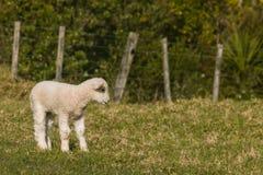 Любознательная овечка стоя на луге Стоковые Изображения