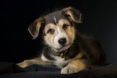 Любознательная собака щенка на черной предпосылке Стоковое фото RF