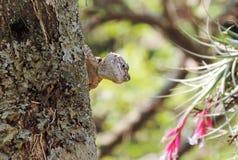Любознательная ящерица (гад) peeking от дерева стоковые фото
