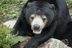 Черный медведь в зверинце стоковые фотографии rf