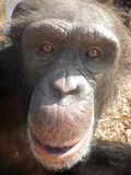 Любознательний шимпанзе Стоковая Фотография