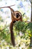 Любознательний lemur Стоковые Изображения RF