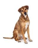 Любознательное большое смешанное усаживание собаки породы Стоковые Изображения