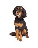 Любознательное усаживание собаки породы смешивания сеттера Гордона Стоковые Фотографии RF