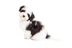 Любознательное усаживание собаки Havanese Стоковые Изображения RF