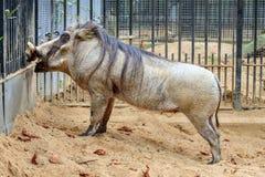 Любознательное Warthog Стоковые Фото
