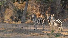 Любознательные зебры Стоковое Фото