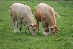 Любознательные коровы пасут в луге Стоковое Изображение RF