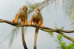 Любознательные обезьяны белки на дереве Стоковые Изображения