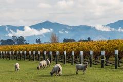 Любознательные овцы пася в винограднике осени Стоковое Изображение