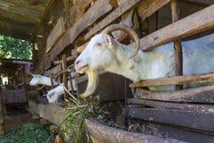 Любознательные отечественные белые козы вставляют их головы через бары конюшни Стоковая Фотография RF