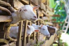Любознательные отечественные белые козы вставляют их головы через бары конюшни Стоковые Фото