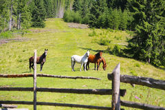 Любознательные лошади на зеленом холме, красивой сцене лошадей пася Стоковое фото RF