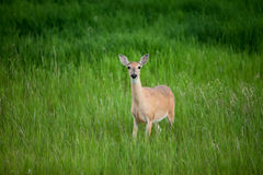 Любознательные олени Стоковое Фото