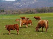 Любознательные скотины на ферме Стоковая Фотография